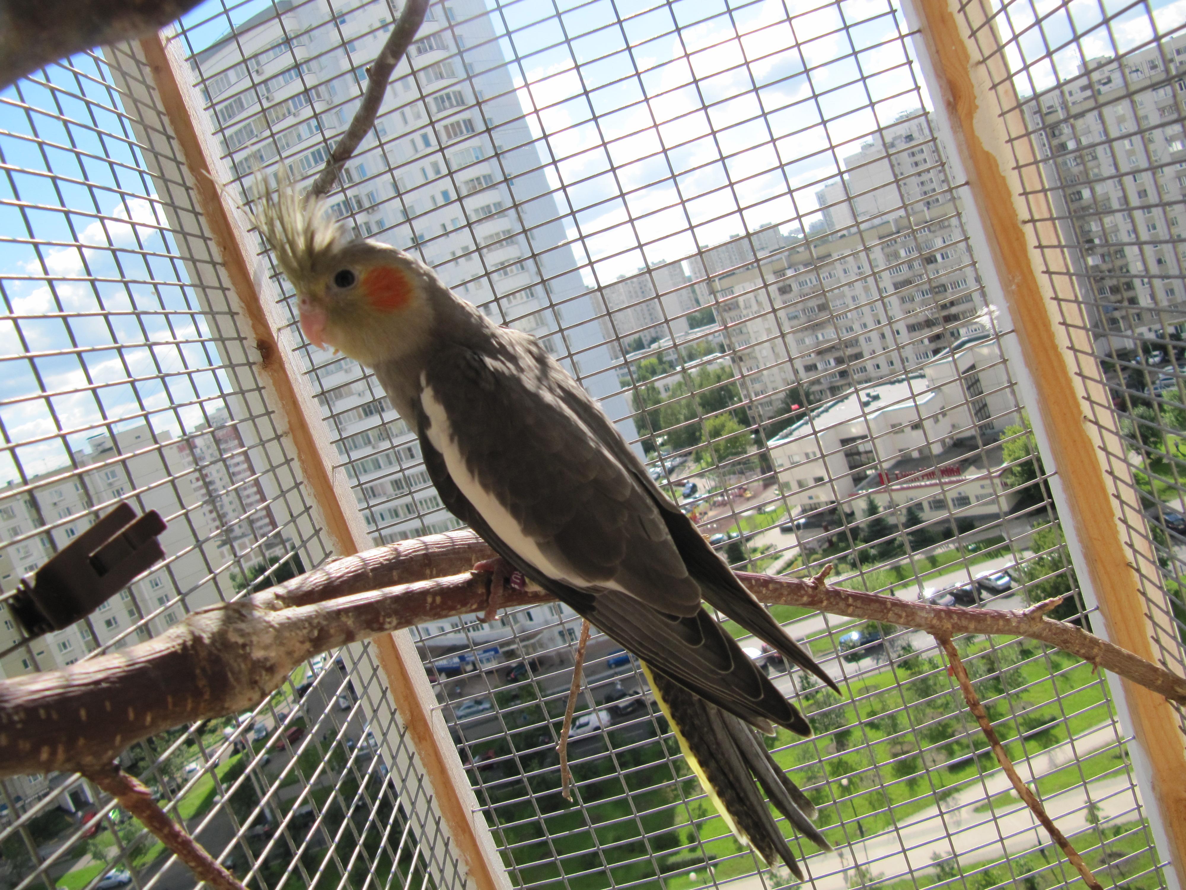 Попугай корелла - розовощекий певец. описание и фото попугая.